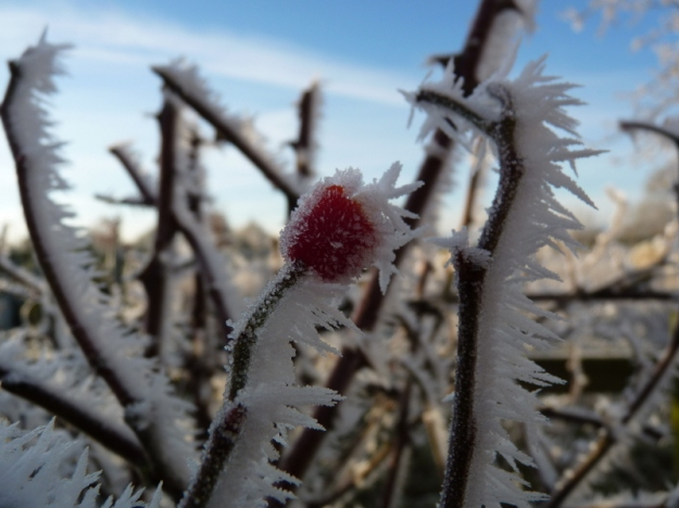 hoar frost on rose hip