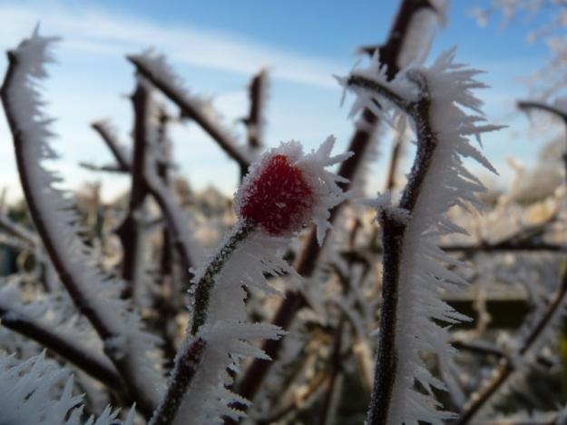 hoar frost on rose hip