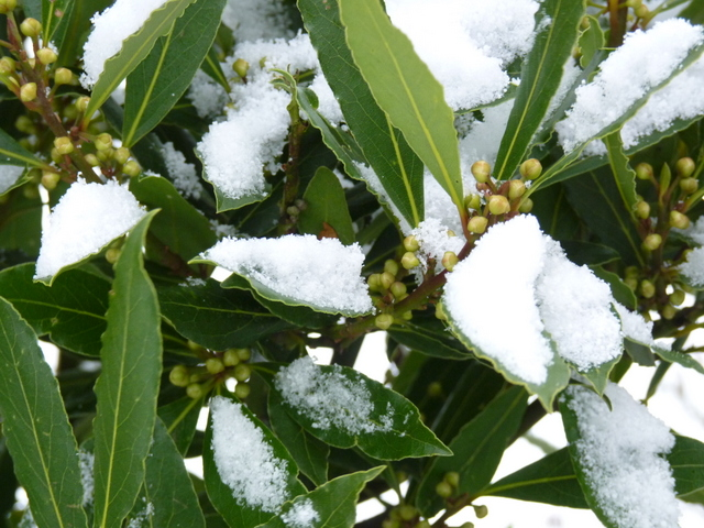 bay tree in snow