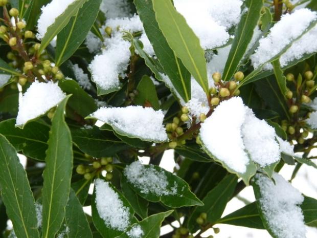 bay tree in snow