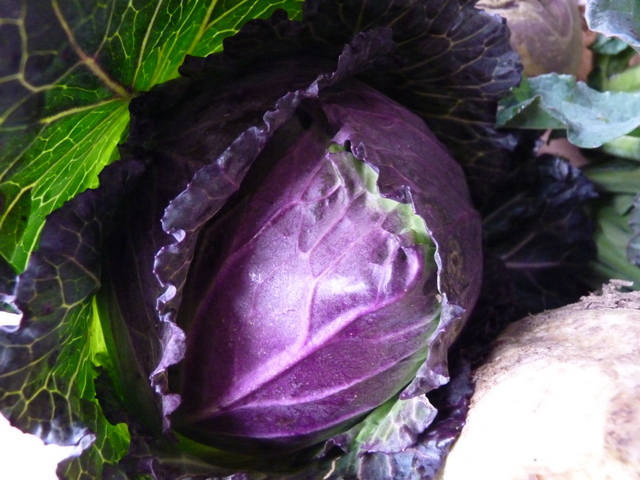 winter king cabbage