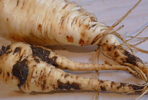 parsnips of all sizes