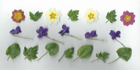 primroses, violets