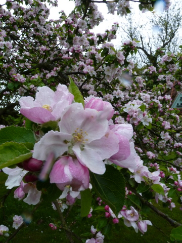 blossom on bramley apple tree
