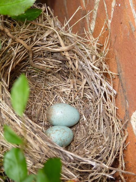 nest containing blackbird eggs