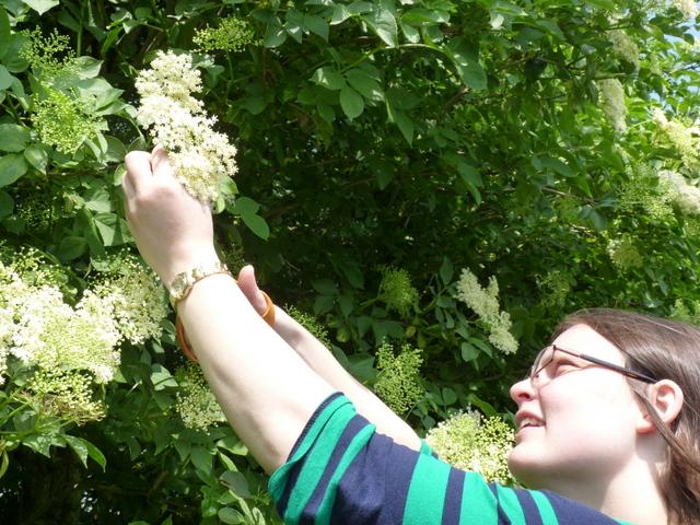 elderflower picking