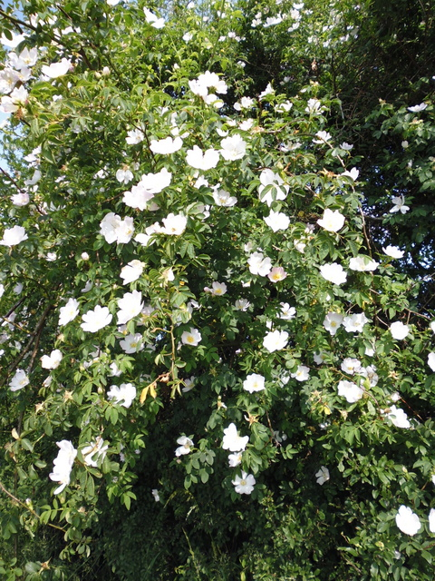 wild rose in Great Forest field