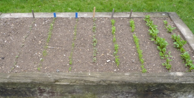 successional sowing of beetroot and carrots