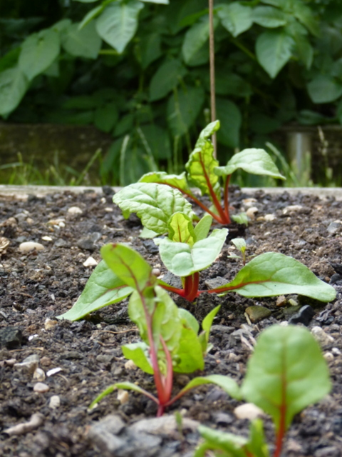 swiss chard seedlings, potatoes behind