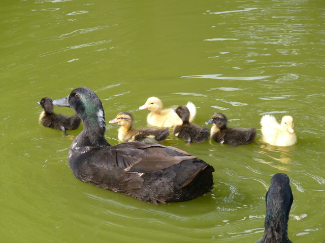 ducklings swimming on pond