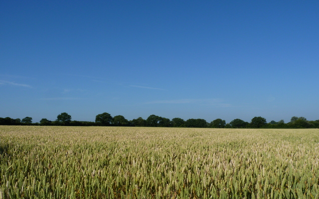 wheat Gardeners Field July 2013