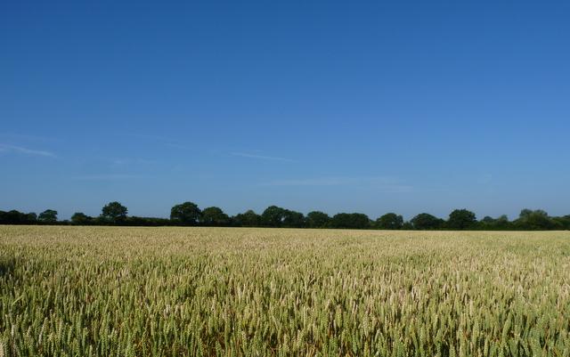 wheat Gardeners Field July 2013