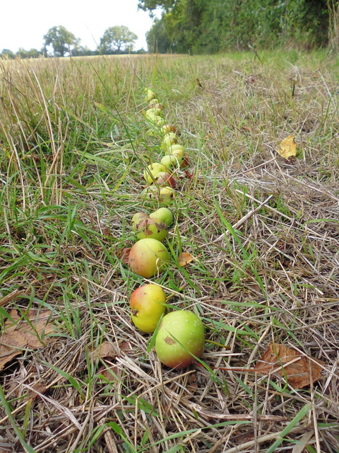 crab apples in a line