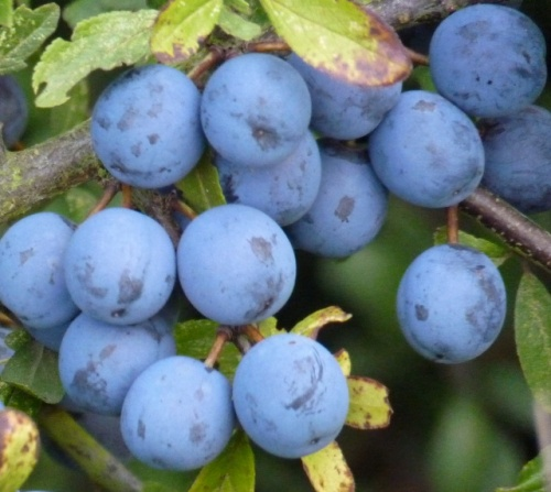 sloes growing on blackthorn hedge