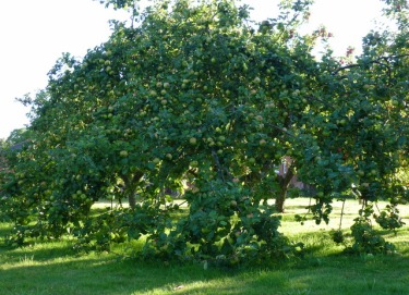 bramley apple tree september