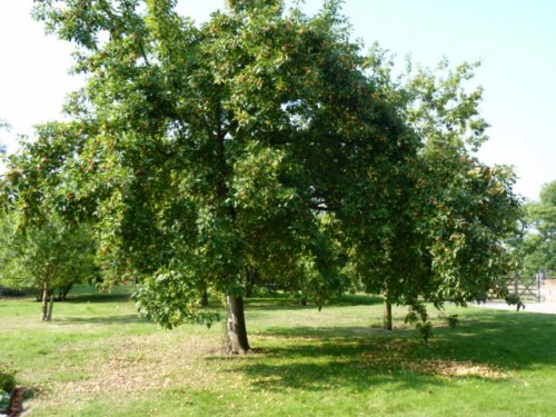 crab apple tree in the garden