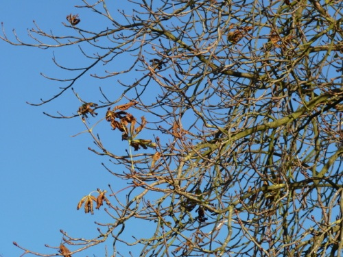 autumn leaves on horse chestnut tree