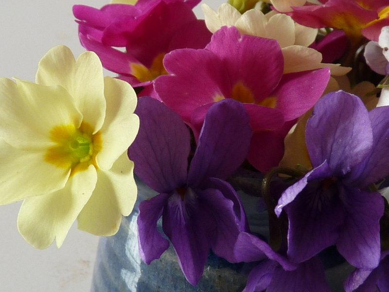 primrose polyanthus violets