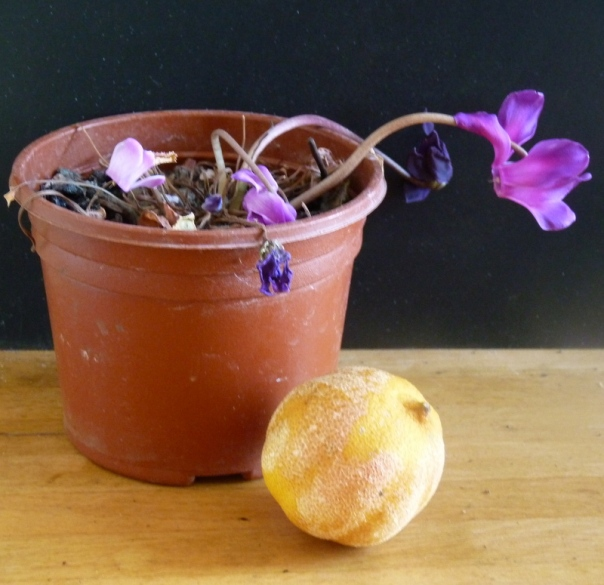 cyclamen and lemon