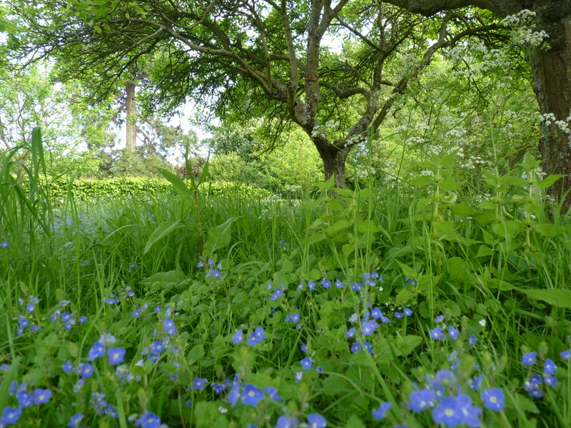 forget-me-nots under the apple tree