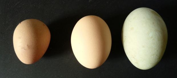 guinea hen duck egg