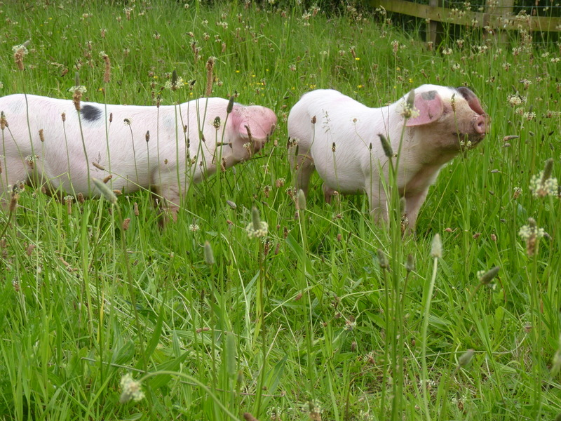 gloucestershire old spots pigs