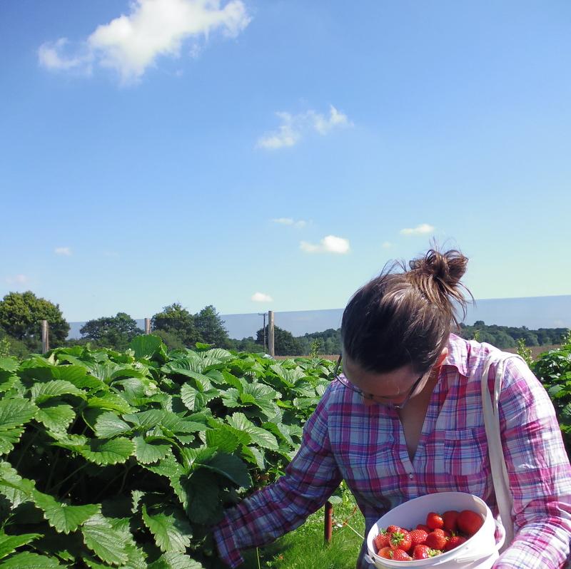 strawberry picking for Slamseys Gin