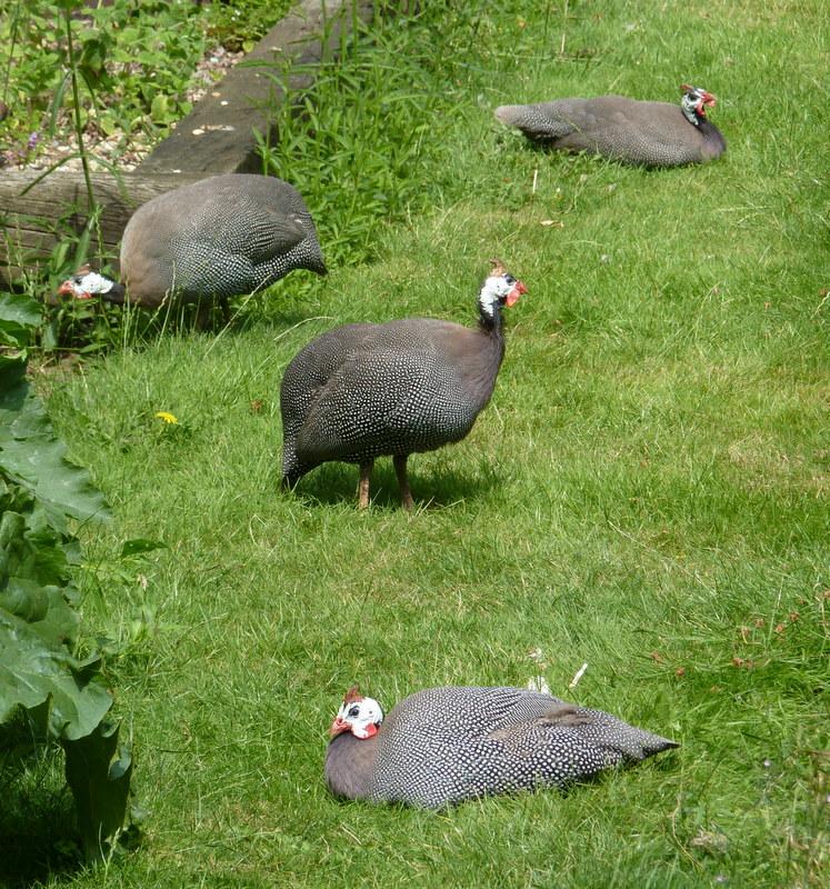 guinea fowl in the garden