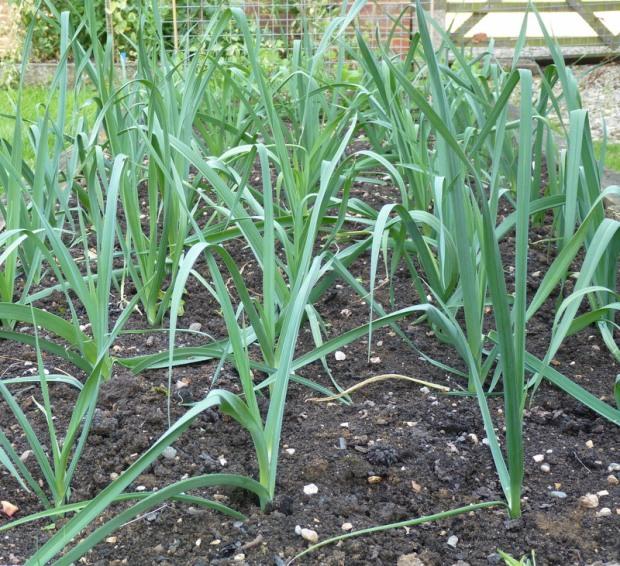 leeks in garden August