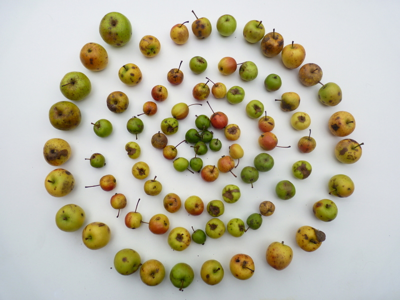 crab apples collected from Lakes Field