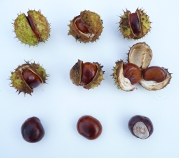 conkers from horse chestnut tree