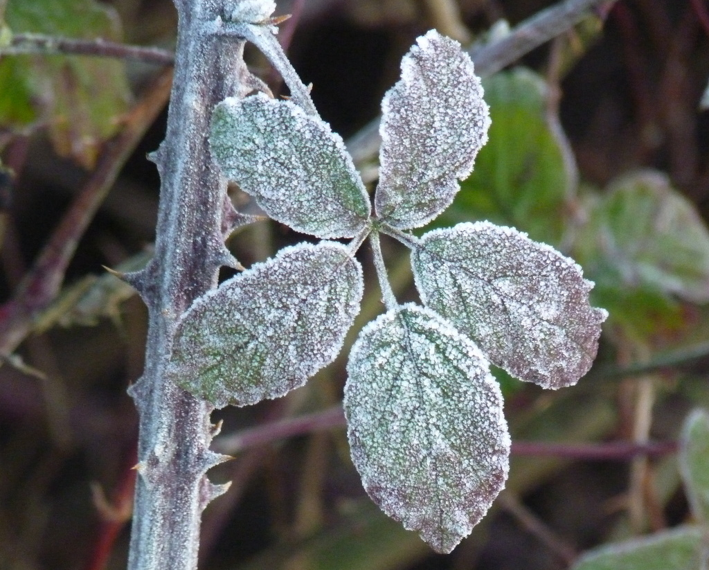 frost on blackberry leaf