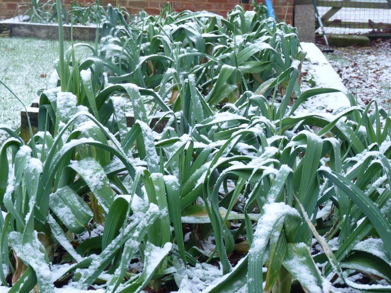 leeks growing in the garden