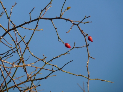 rosehips in winter sunshine