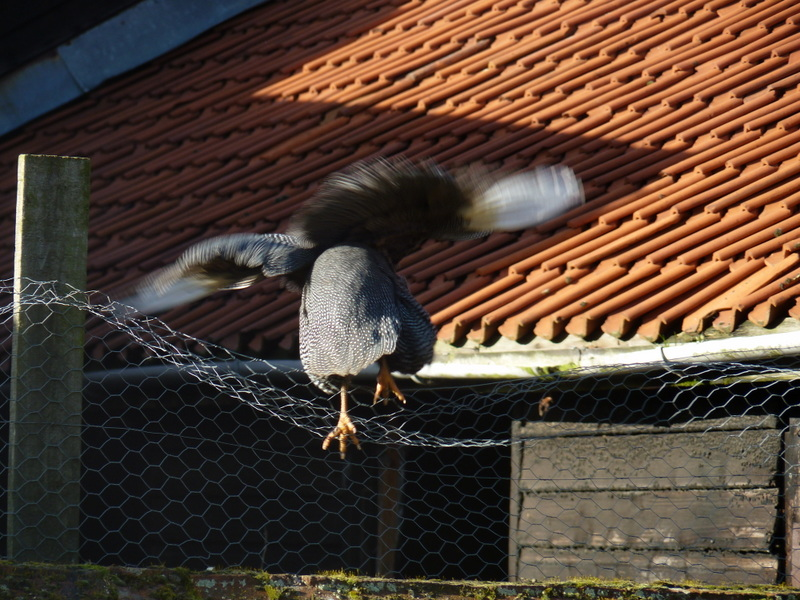 guinea fowl flying over fence