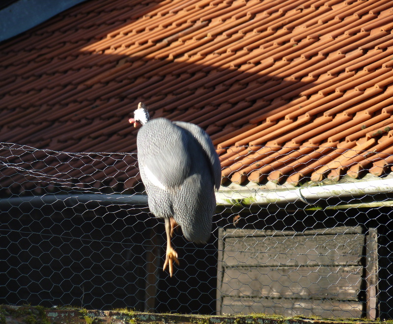 guinea fowl jumping fence