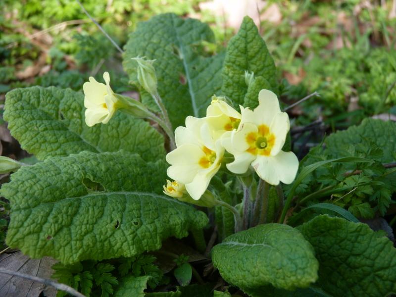 primrose in spring