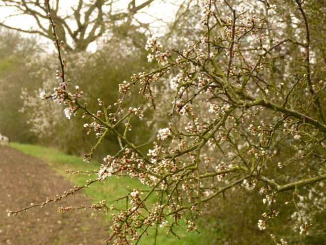 blackthorn hedge