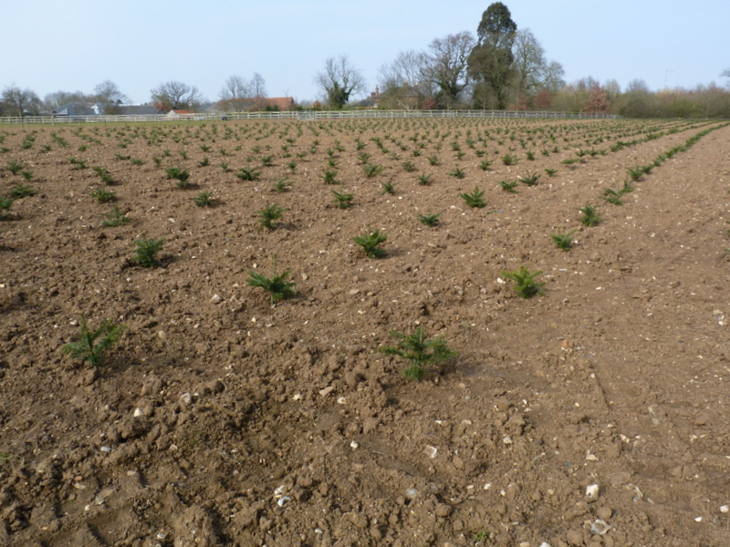newly planted Christmas trees at Slamseys Farm