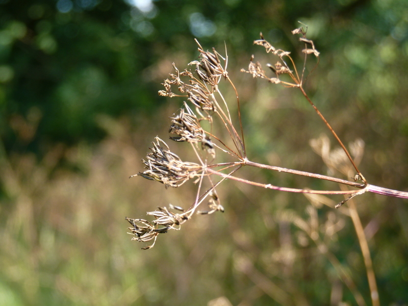 cow parsley gone to seed