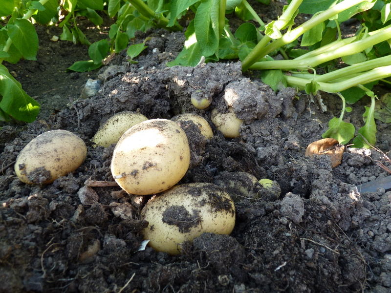 digging new potatoes