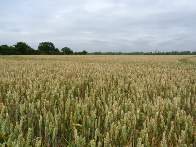 wheat in grove field