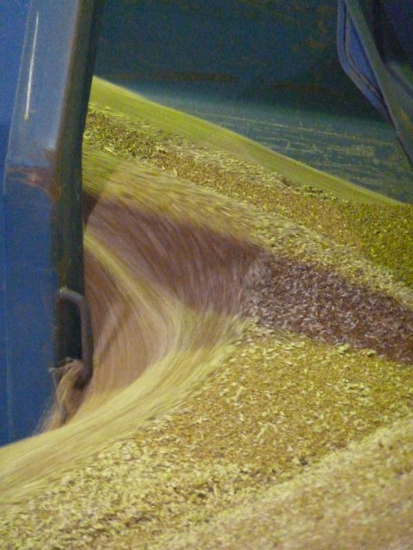 emptying wheat trailer