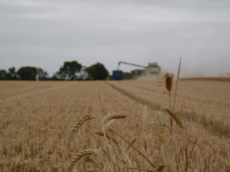wheat harvest 2015