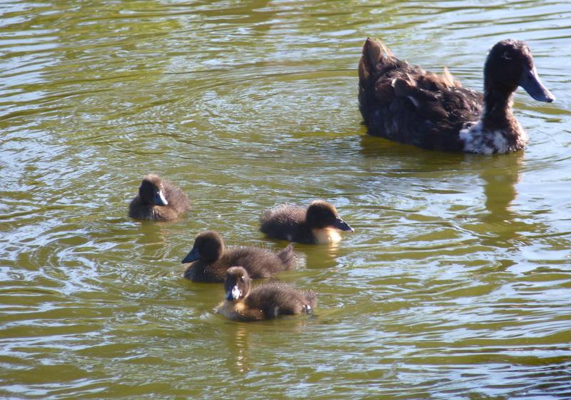 ducklings on pond