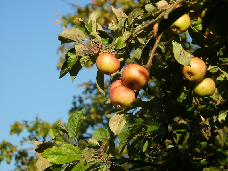 sunset apples