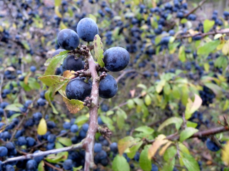 sloes for Slamseys Gin