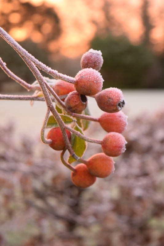 frosted rosehips
