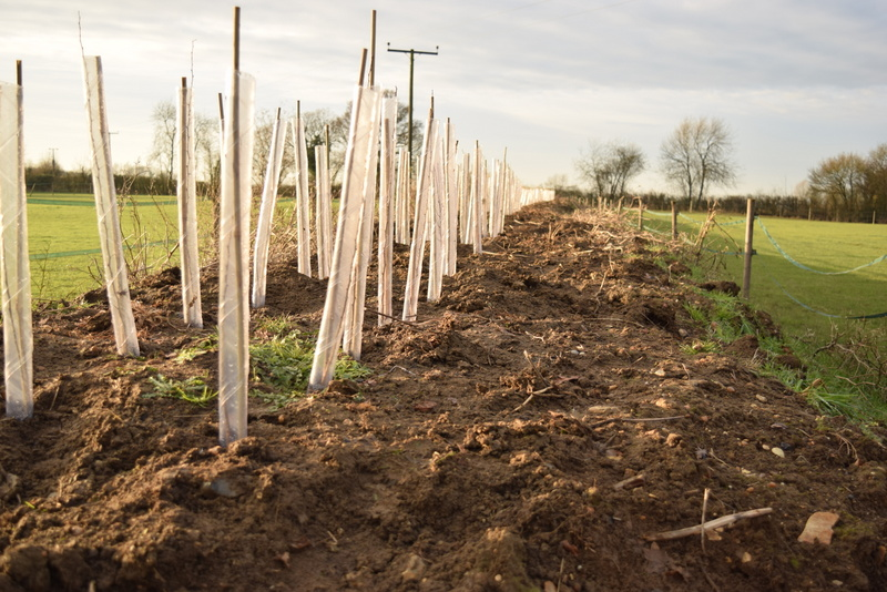 newly planted hedge Barn Field