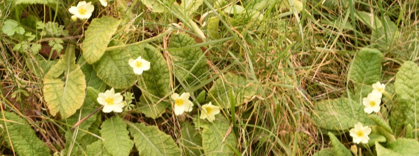 primroses growing on the bank